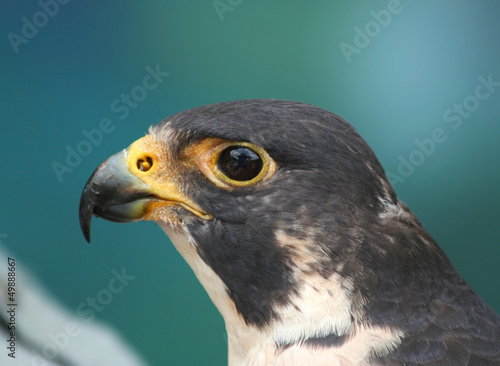 Portrait of A Peregrine Falcon
