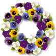 Pansy Wreath, spring Viola flowers, isolated on white
