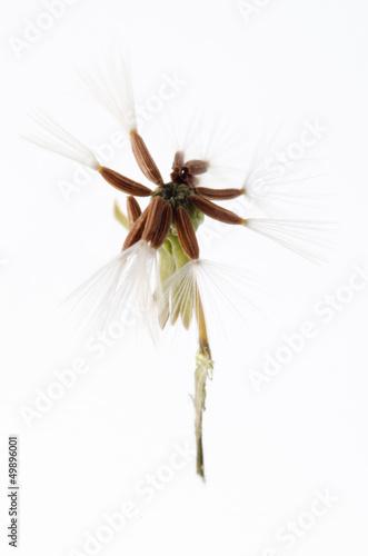 dandelion seed isolated - 49896001
