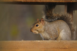 eastern gray squirrel, sciurus carolinensis