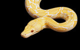 Tiger Albino Python snake over black