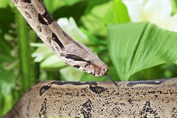 Boa snake closeup