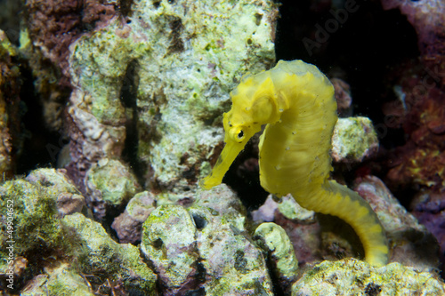 A yellow kuda female sea horse in Philippines