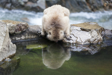 Japanese Macaque Looks at it's Reflection in Water