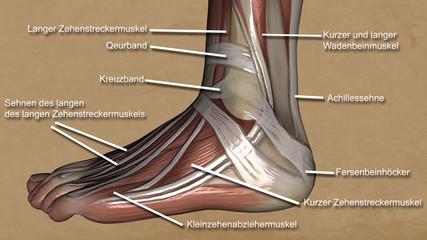 Fussmuskel Beschreibung