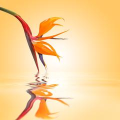 Oiseau de paradis, fond orange