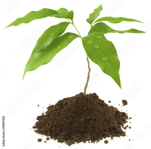 Fotobehang Bonsai jeune plant de litchi