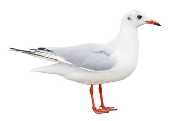 white bird seagull isolated