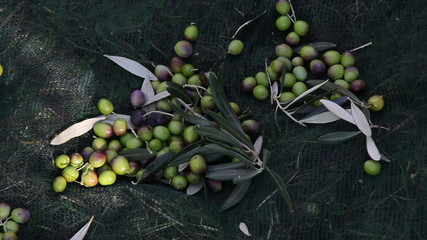 Olives harvesting in a field in Italy