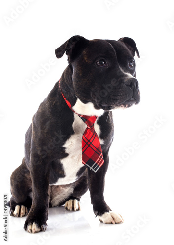 staffordshire bull terrier with tie