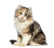 American Curl kitten, 3 months old, sitting and looking