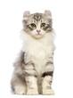 American Curl kitten, 3 months old, sitting