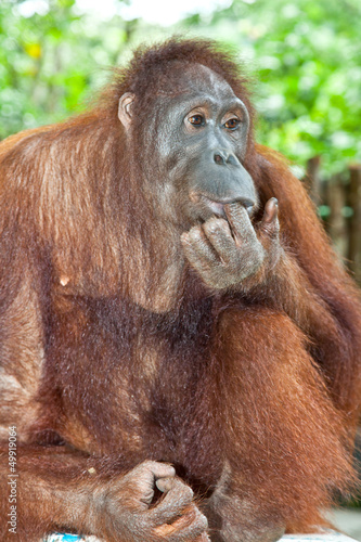 Orangutan  in the jungle of Java