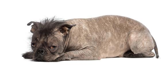 Hairless Mixed-breed dog, mix of a French bulldog