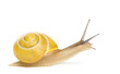 Grove snail or brown-lipped snail without dark bandings