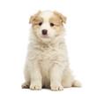 Border Collie puppy, 6 weeks old, sitting