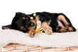 adorable little puppy asleep with a toy