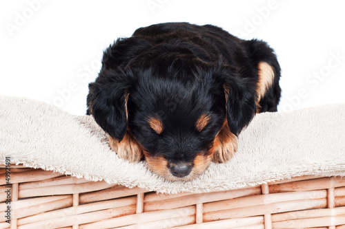 adorable little puppy asleep on the towel