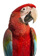Close-up of a Green-winged Macaw, Ara chloropterus, 1 year old