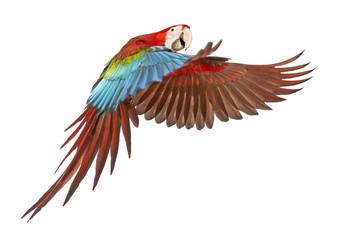 Green-winged Macaw, Ara chloropterus, 1 year old, flying