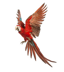 Green-winged Macaw, Ara chloropterus, 1 year old, flying