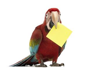 Green-winged Macaw, Ara chloropterus, 1 year old