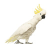 Sulphur-crested Cockatoo, Cacatua galerita, 30 years old