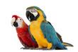 Blue-and-yellow Macaw, Ara ararauna, 30 years old