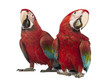 Two Green-winged Macaw, Ara chloropterus, 1 year old, in front