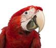 Close-up of a Green-winged Macaw, Ara chloropterus, 1 year old