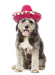 Crossbreed, 4 years old, wearing a sombrero
