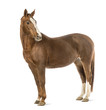 Horse looking at camera in front of white background