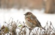 sparrow sitting on bush in winter