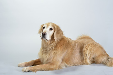 Dog Golden Retriever