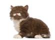 British Longhair kitten, 6 weeks old, sitting and looking up