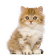 British Longhair kitten, 2 months old, sitting