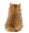 Rear view of a British Longhair kitten, sitting and looking up