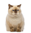 Fat British Shorthair, sitting and looking with suspicion