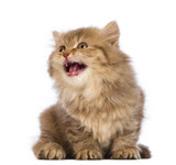 British Longhair kitten, sitting, looking up and meowing poster