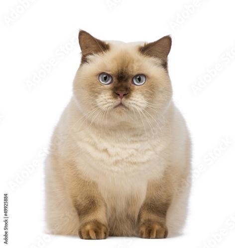 Fat British Shorthair,  sitting and looking at the camera