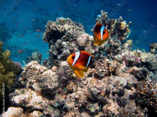 dwie-czerwone-anemonowe-ryby