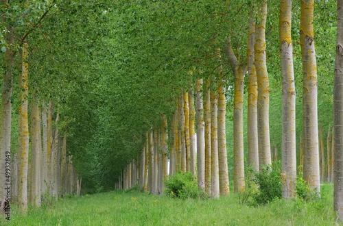 Fototapeten,pappel,baum,wald,bäume