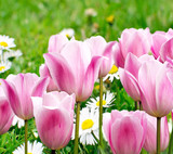 Fototapeta tulipany - zaangażowanie - Kwiat