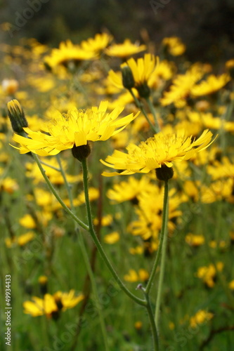 meadow with hawkweed flowers