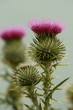 isolated milk thistle flower head