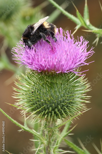 bumble bee pollinating thisle flower head