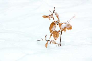 young beech in winter