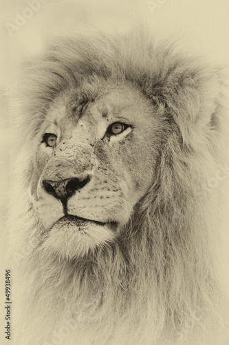Sepia Toned Lion Face
