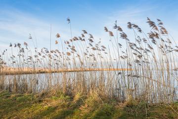 Waving reeds
