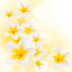 Fleurs de frangipanier, fond blanc carré